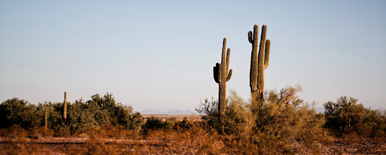 Image of two saguaro cactuses in the desert