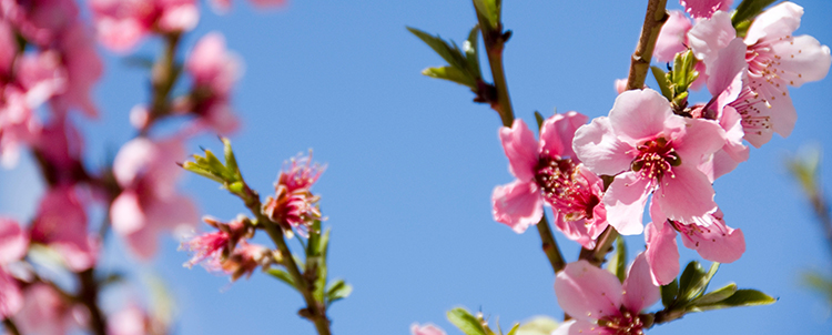 Close up image of pink flowers on campus